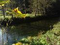 Javorové listí na podzim žloutne, kdežto vodní tráva se drží zelená.