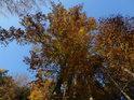 Podzimní pohled vzhůru do korun buků na levém břehu Metuje u prvního krytého mostu pod Náchodem.