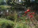 Nádherné podzimní šípky na levém břehu Metuje nedaleko Bělovse.