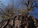 Pohled vzhůru po kmeni pobřežního topolu u Metuje.