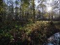 Přirozený lužní les na levém břehu Staré Metuje asi až tak přirozený není.