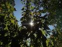 Slunce za vysokými kopřivami na břehu Metuje.